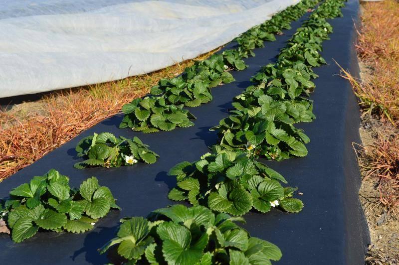 Правила посадки клубники осенью: выбор времени и схемы, подготовка почвы