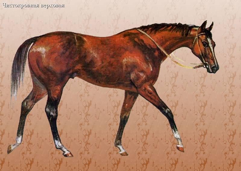 Английская чистокровная верховая лошадь — быстрый и гордый скакун