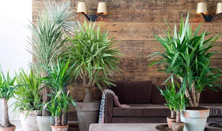 Цветок юкка — уход в домашних условиях