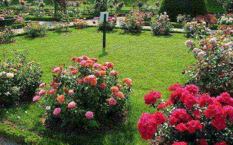 Розы - посадка весной, летом, осенью. сроки посадки роз в грунт, секреты ухода