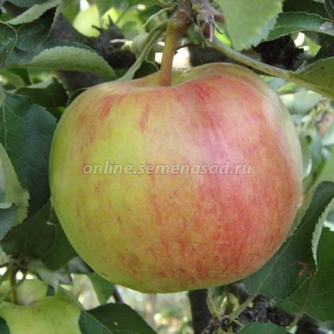 Яблоня аркадик