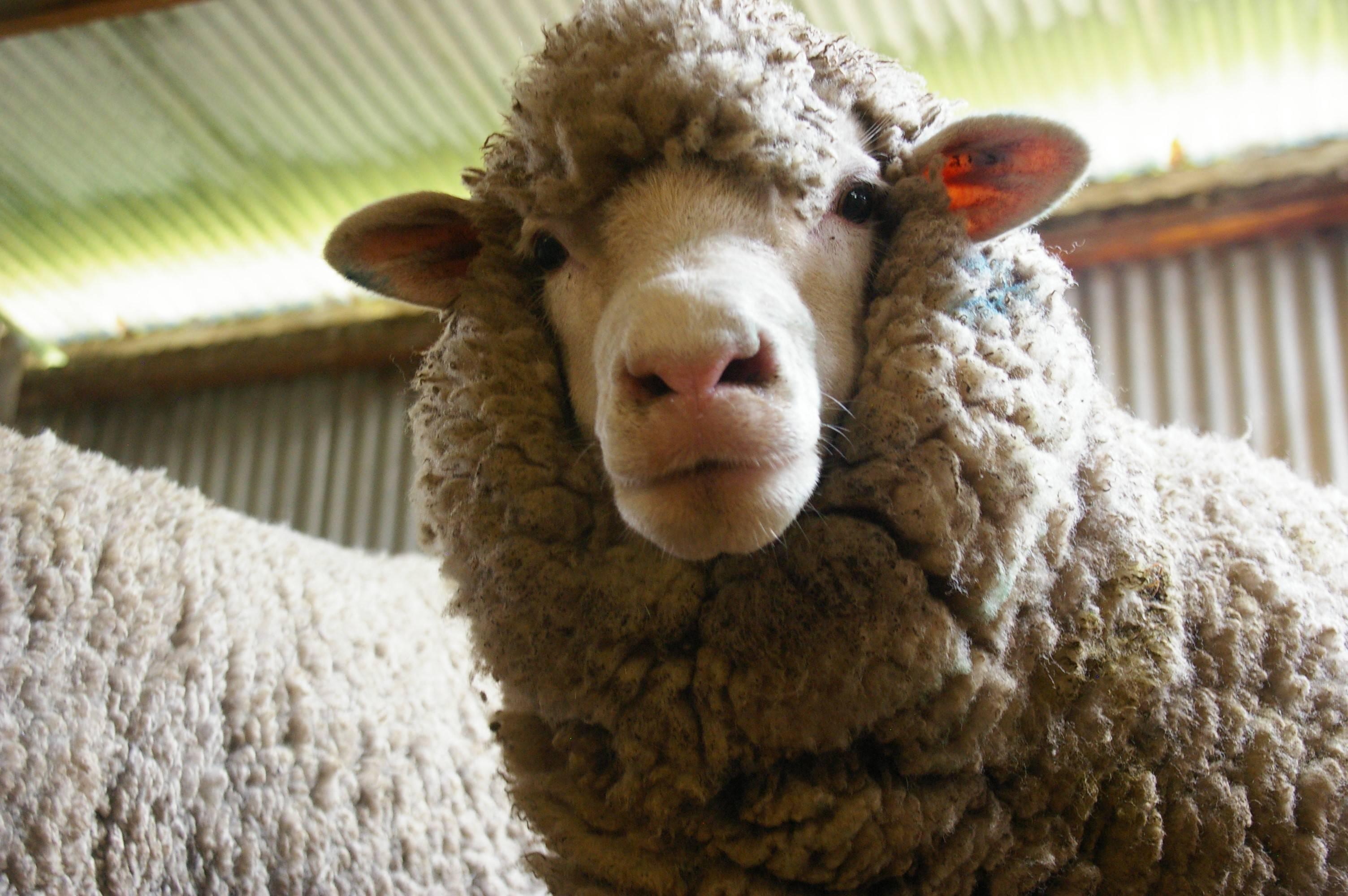 Как стричь овец: способы и порядок стрижки