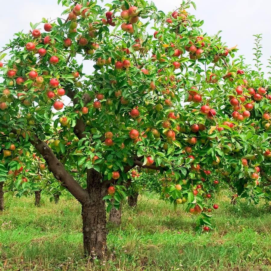 Правила обработки яблони от болезней и вредителей мочевиной весной