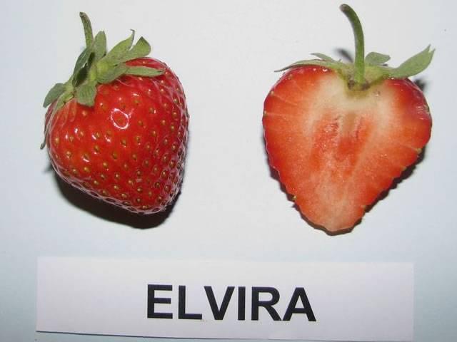 Земляника эльвира: описание сорта, рекомендации по уходу, фото, отзывы