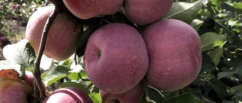 Особенности выращивания яблони спартан