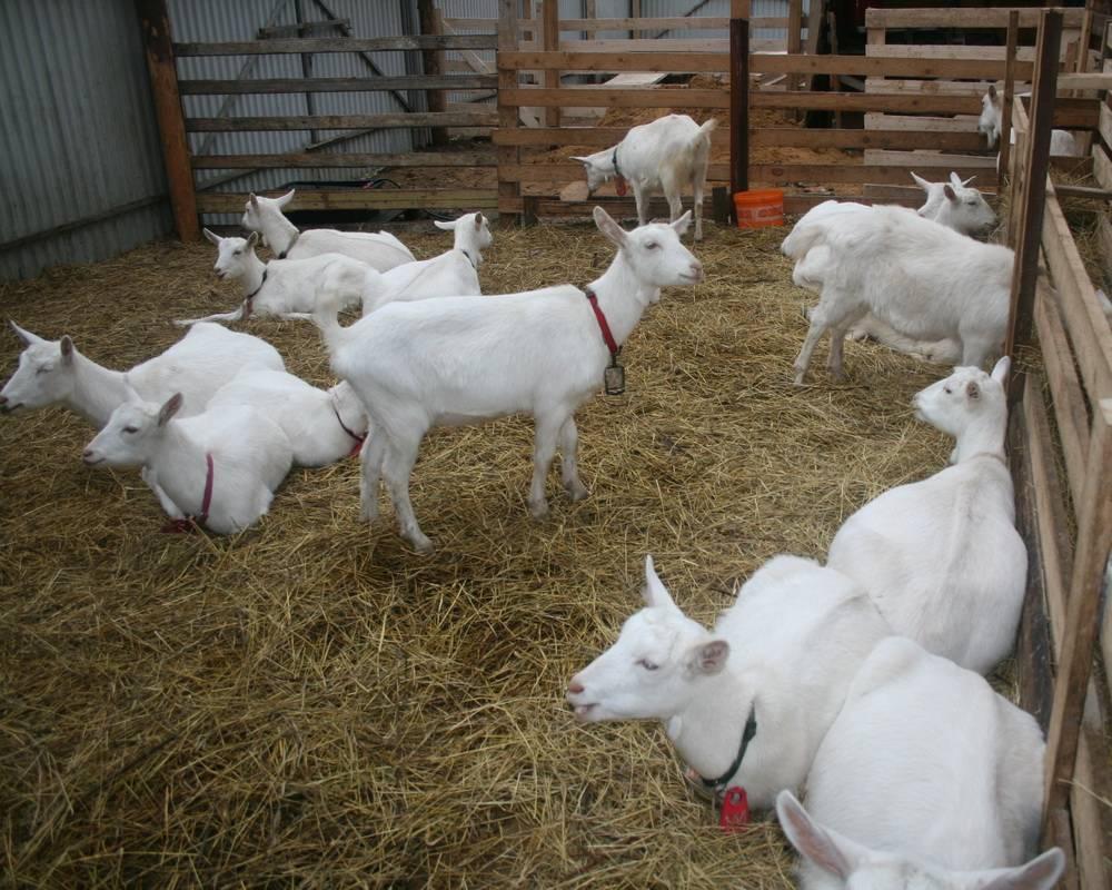 Разводим зааненских коз: описание породы и ее содержание