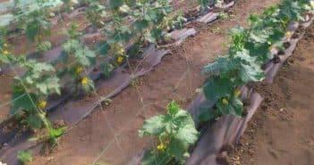 Подкормка огурцов во время цветения и завязывания
