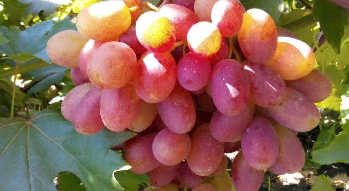 Виноград отрок описание сорта фото отзывы