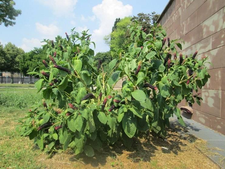 Лаконос – что это за растение, и как его применять для оздоровления организма?