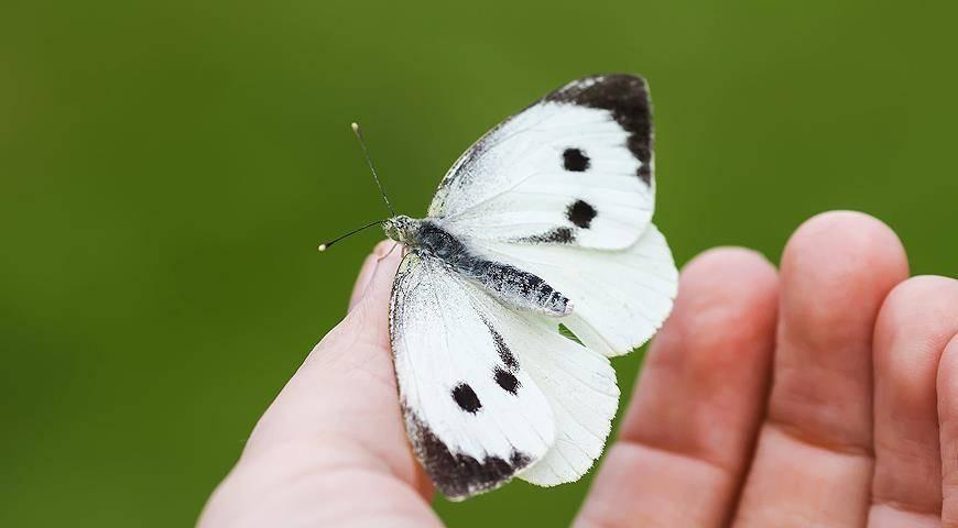 Описание и длительность жизни бабочки капустницы