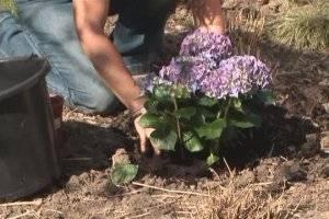 В ожидании весны: как укрыть гортензию на зиму. как укрывают разные сорта гортензии?