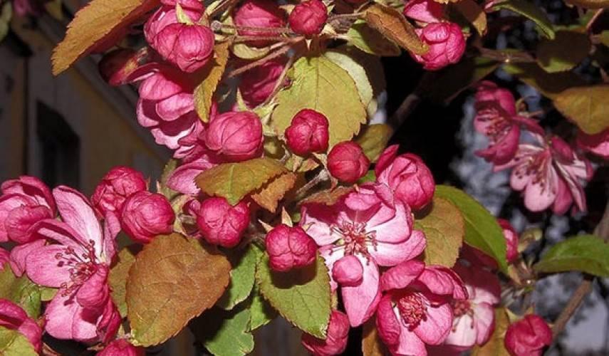 Декоративная яблоня недзвецкого: фото, описание и характеристика, родина яблони недзвецкого и условия выращивания