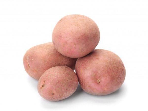 Особенности выращивания сорта картофеля сынок и его отличительные характеристики