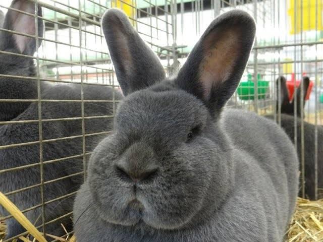 Венский голубой кролик: описание породы и характеристики
