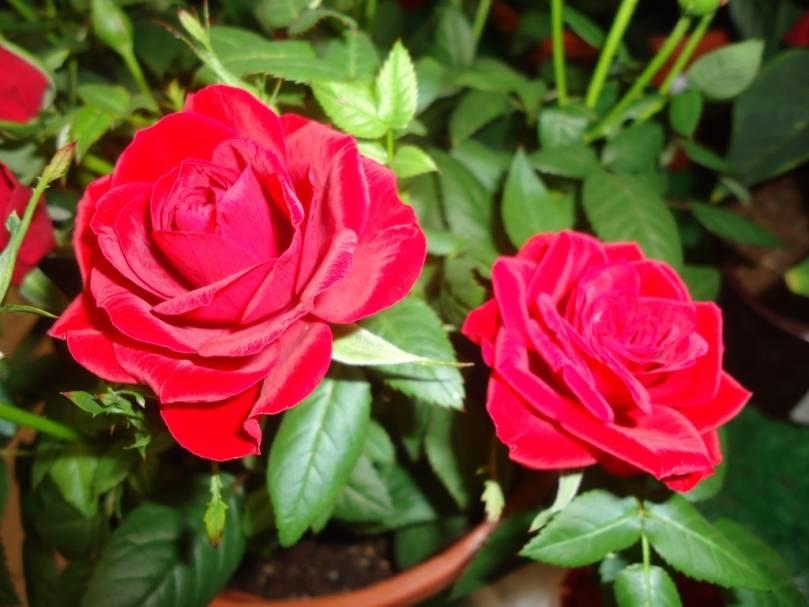 Комнатная роза: посадка и уход в домашних условиях