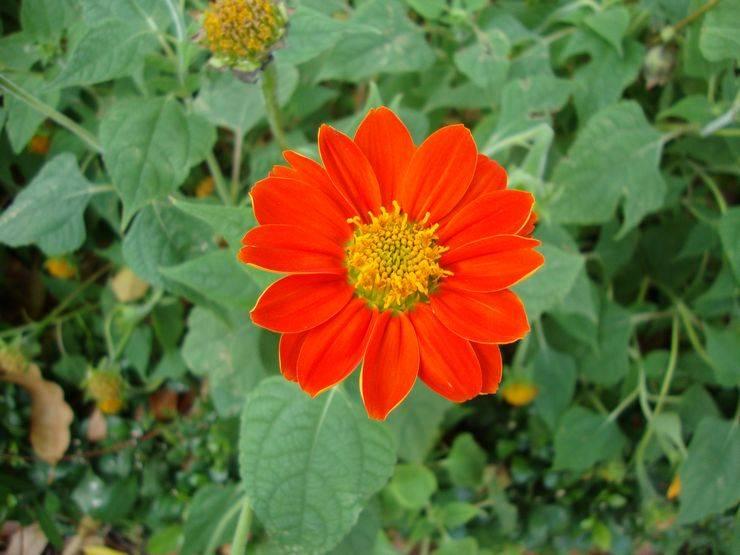 Титония цветок фото – фото, сорта, выращивание, посадка и уход в открытом грунте — сибирский процвет