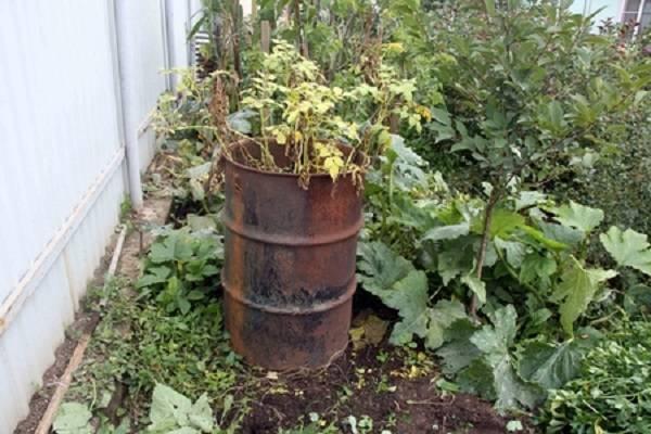 Как вырастить картофель в бочке. пошаговая технология выращивания   зелёный сад