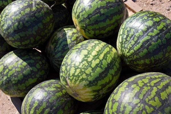 Арбуз холодок: описание сорта, характеристика, выращивание