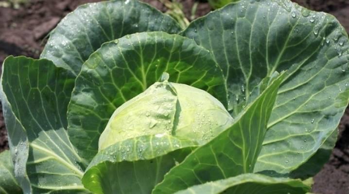 Какими народными средствами лучше обработать капусту от вредителей для защиты
