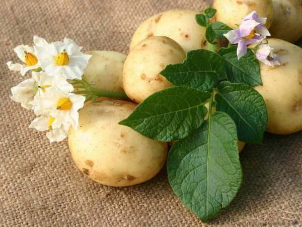 Выращивание картофеля из семян. фото — ботаничка.ru
