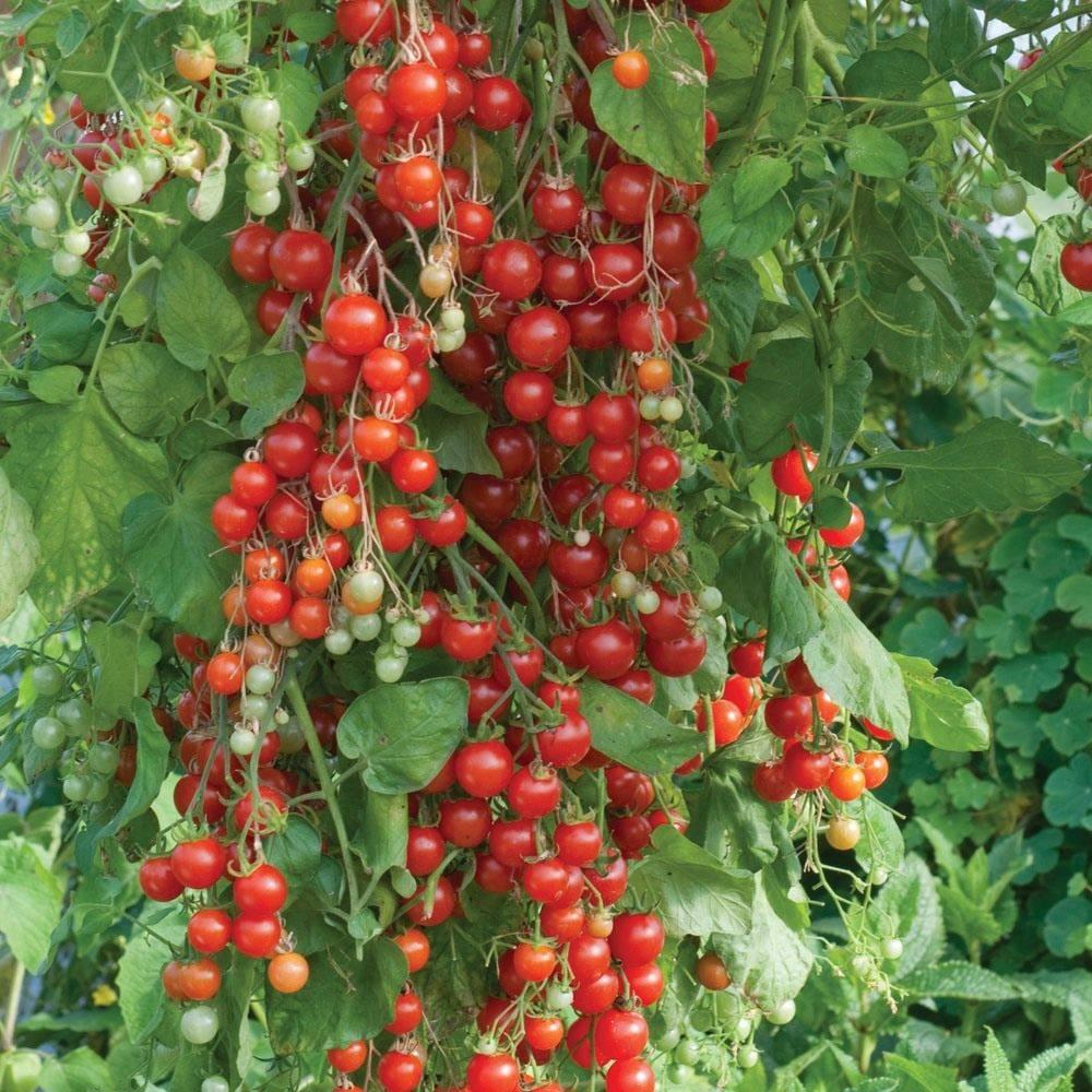 """Томат """"свит черри"""" f1 характеристика сорта, описание плодов и особенностей ухода, фото и отзывы тех кто сажал"""