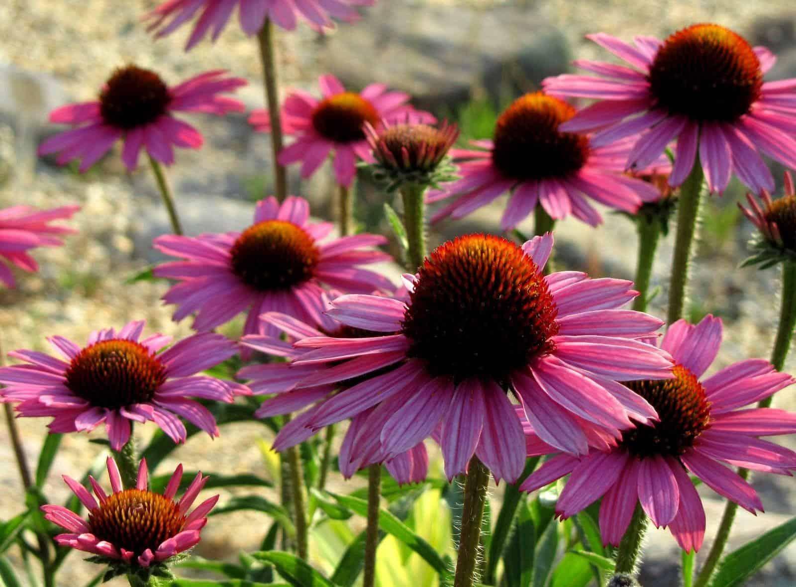 Эхинацея: выращивание в саду, виды и сорта