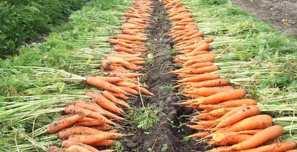 Когда в 2020 и как убирать морковь на хранение в сибири, подмосковье, на урале