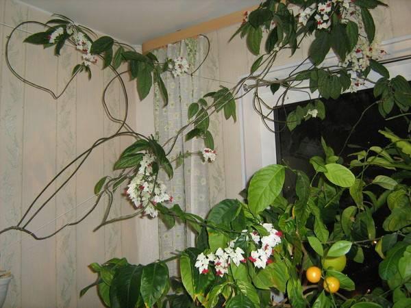 Клеродендрум бунге: история и описание, правила посадки в открытый грунт и фото растения русский фермер