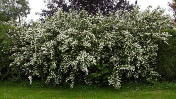 Любимые кустарники для сада: посадка чубушника и уход за ним