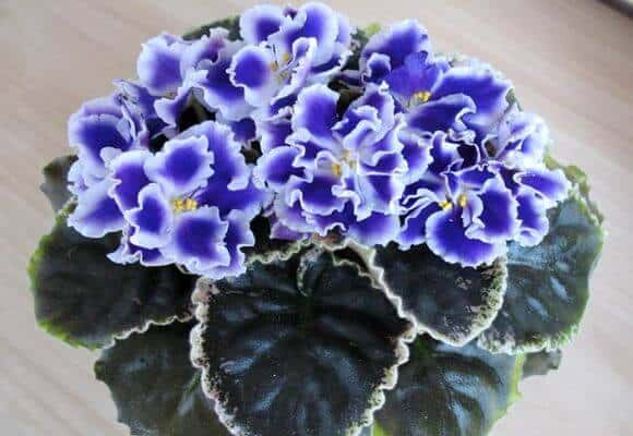 ✅ сорт фиалки черная жемчужина фото - питомник46.рф