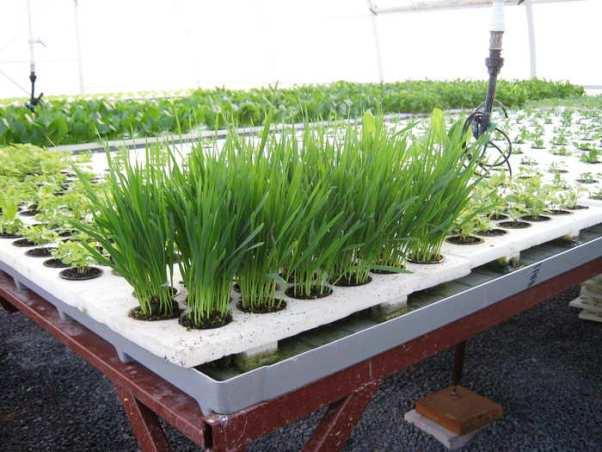 Выращивание зелени в домашних условиях (зимой и летом)