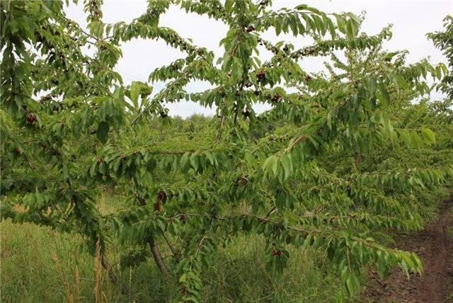 Сорт черешни ревна: описание и советы по выращиванию