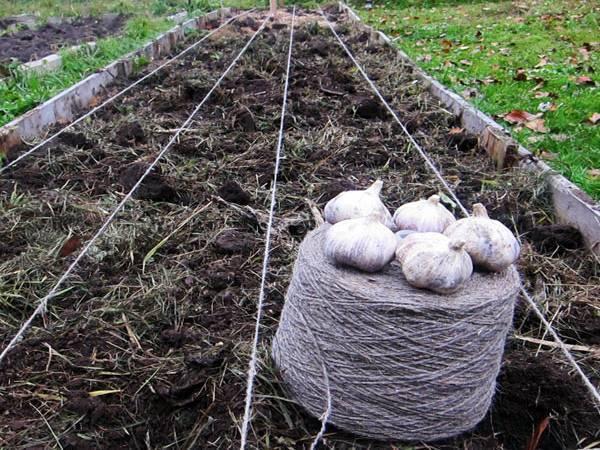 Посадка чеснока под зиму в 2020 году: когда сажать, благоприятные дни