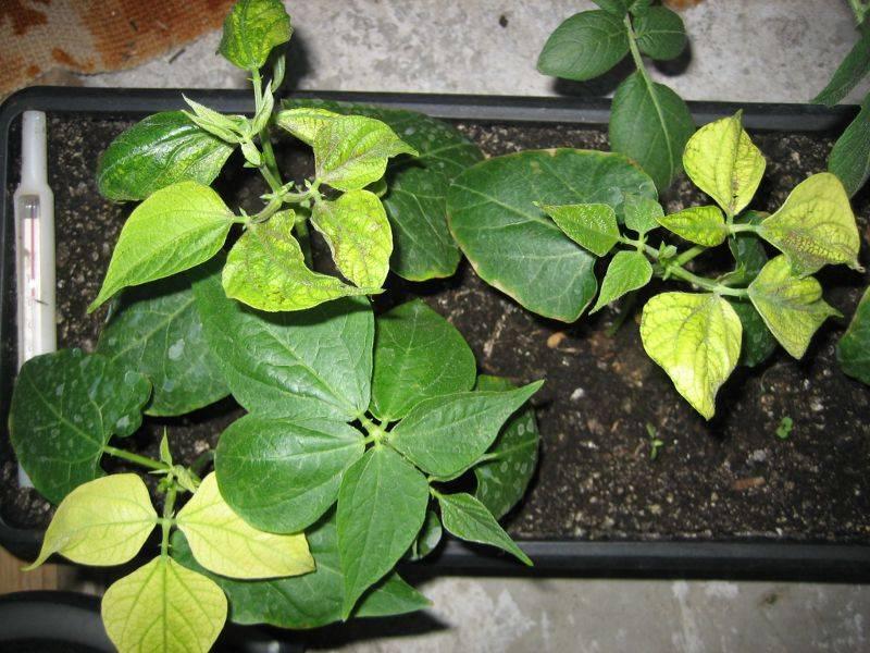 Фасоль спаржевая: посадка, выращивание и уход. 7 причин, чтобы выращивать спаржевую фасоль на участке - автор екатерина данилова - журнал женское мнение