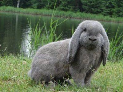 Кролик баран (37 фото): описание вислоухих декоративных, карликовых и других видов кроликов породы баран. сколько лет они живут? особенности ухода