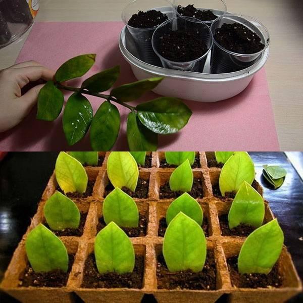 Замиокулькас — размножение листом пошаговое (фото) в домашних условиях, как укоренить листочек и вырастить долларовое дерево