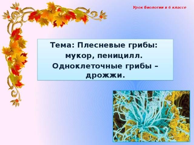 Гриб мукор описание практическое применение в чём опасность гриба