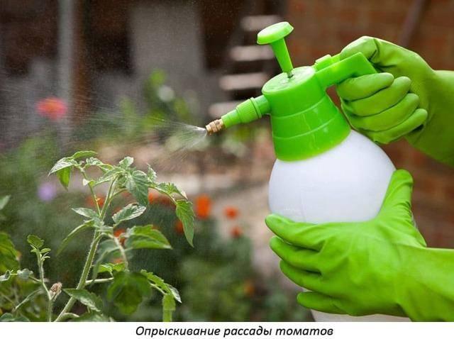 Способствуем лучшему росту рассады помидоров с помощью внекорневой подкормки