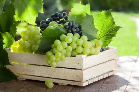 Виноград триумф: описание сорта, фото и отзывы, агротехника
