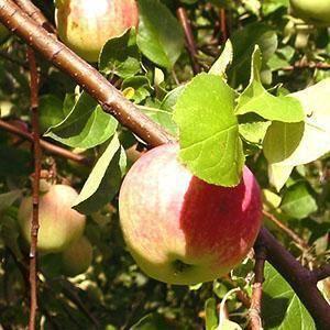 О болезнях и вредителях коры яблонь