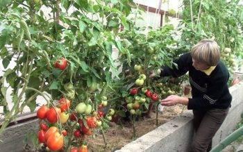 Как формировать куст помидоров советы и рекомендации | огородовед