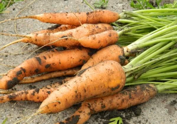 Лунный календарь для моркови: благоприятные дни для посадки культуры и ухода за ней в 2021 году