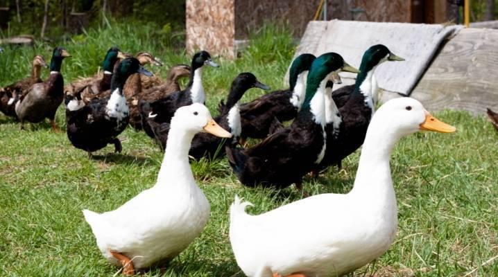Породы уток - разведение и содержание уток - птицеводство - собственник