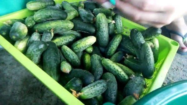 Новые сорта огурцов на 2020 год: описание, фото, рекомендации по выращиванию