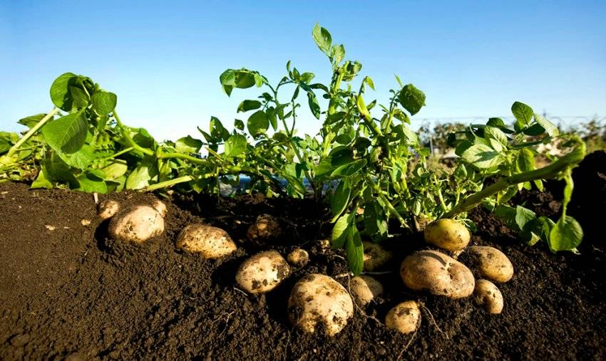Когда надо обрезать ботву у картофеля. сроки и правила уборки ботвы картофеля
