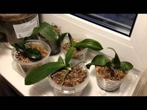 Как реанимировать орхидею, если сгнили даже корни