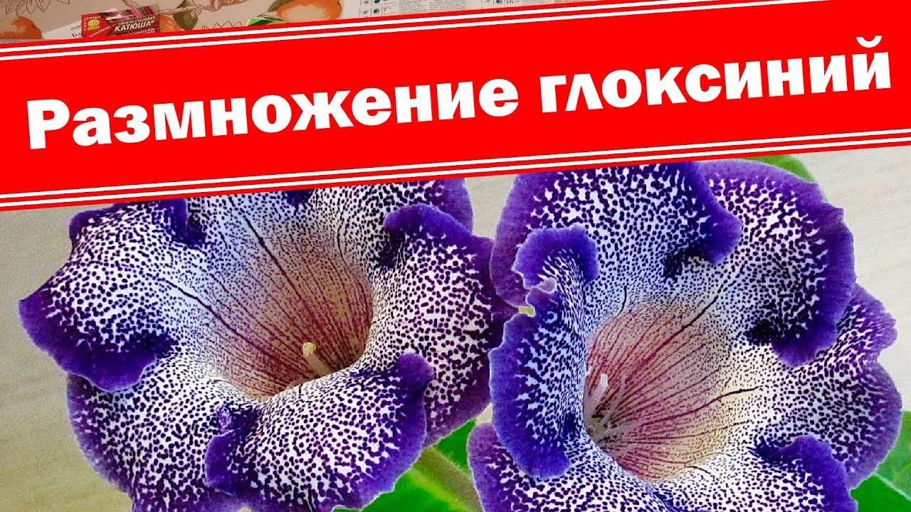 Глоксиния из семян: размножение, выращивание и уход в домашних условиях: пошаговое фото, как выглядят сеянцы семейства, как их собрать, посадить и получить всходы русский фермер