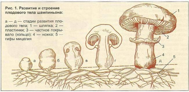 Размножение грибов - способы, виды