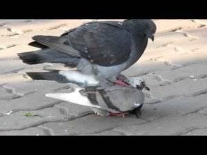 Как происходит размножение у голубей?
