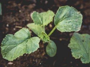Книга: секреты выращивания огурца